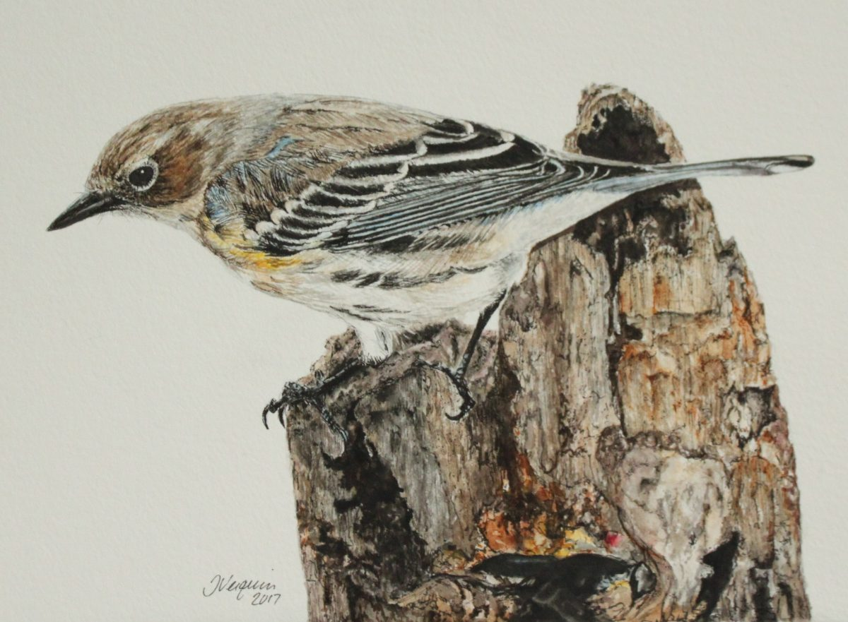 Yellow-Rumped Warbler Watercolor