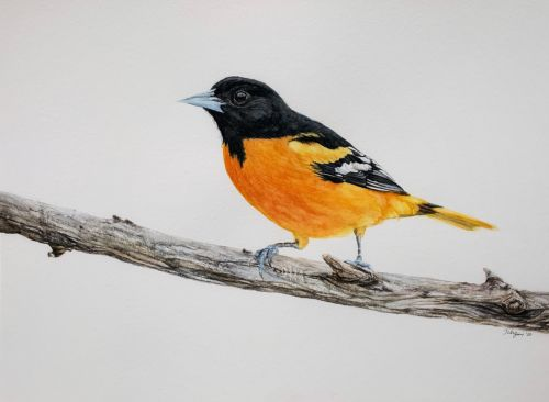Baltimore Oriole perched on branch painting - SOLD