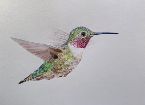 Broad-tailed Hummingbird painting - SOLD