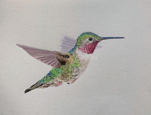 Broad-tailed Hummingbird II