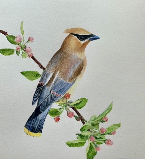 Cedar Waxwing perched on budding apple tree branch