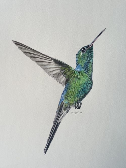 Cuban Emerald Hummingbird watercolor painting