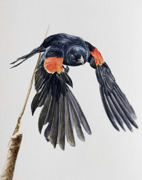Red-winged Blackbird watercolor painting
