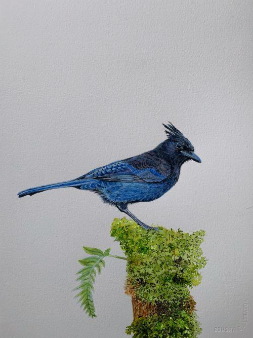 Steller's Jay bird watercolor painting