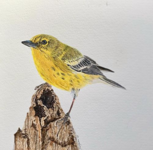 Yellow Warbler perched on stump watercolor painting