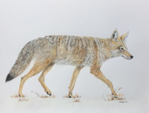 Coyote - SOLD