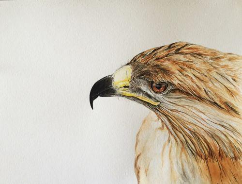 Hawk SOLD